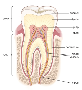 tooth definition.jpg