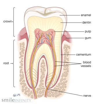 tooth definition1